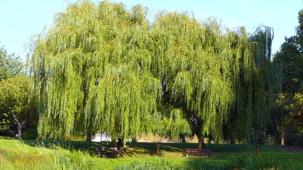 Silber-Weide ( Salix alba Tristis-Trauerweide )